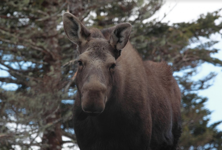 Moose, Mike Dembeck, Canada, Nature Conservancy of Canada