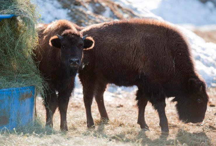 Wood bison, Alberta, Elk Island, endangered species