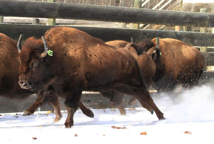 Parks Canada, bison, Banff, Canada