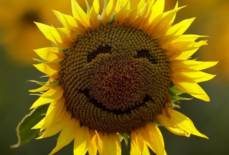 A smiley face is seen on a sunflower in a sunflower field in Lawrence, Kan. file photo Sept. 7, 2016.