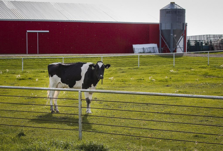 A Holstein cow stands in a pasture at a dairy farm near Calgary in an August 31, 2016