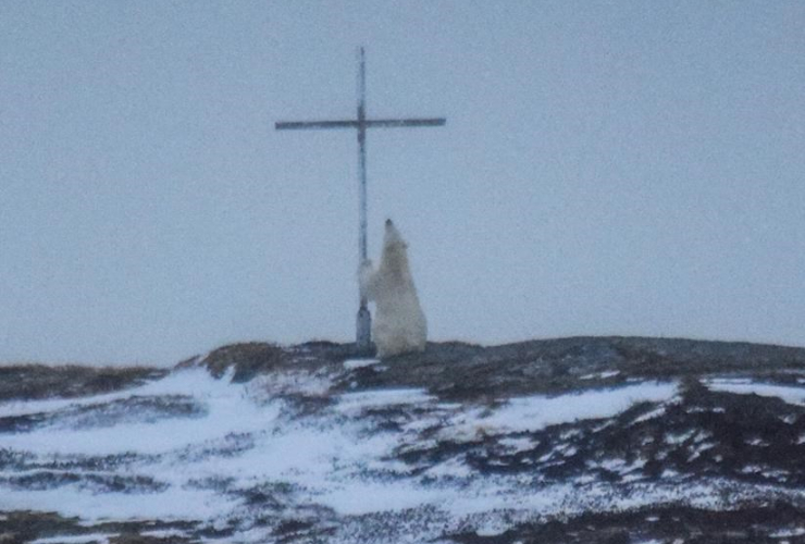 A polar bear looks up at a cross in Wesleyville, N.L., on Wednesday, March 29, 2017.