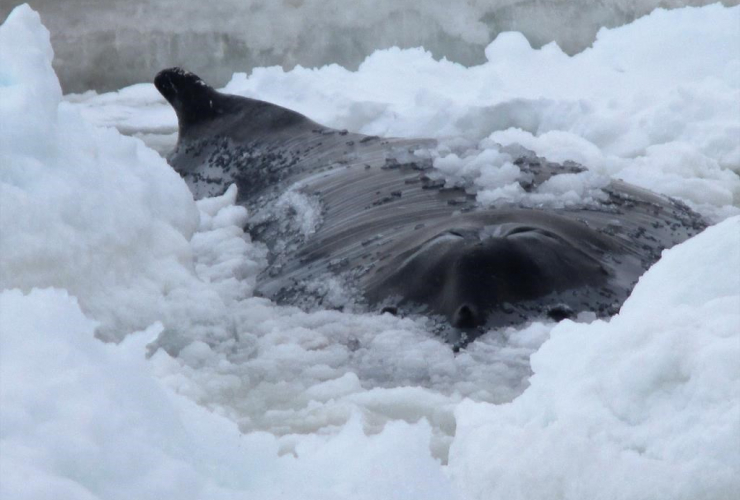 A humpback whale is shown trapped in the icy waters off Old Perlican, N.L. in a handout photo