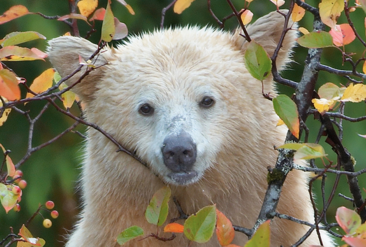 Kermode bear in crab tree by Brad Hill