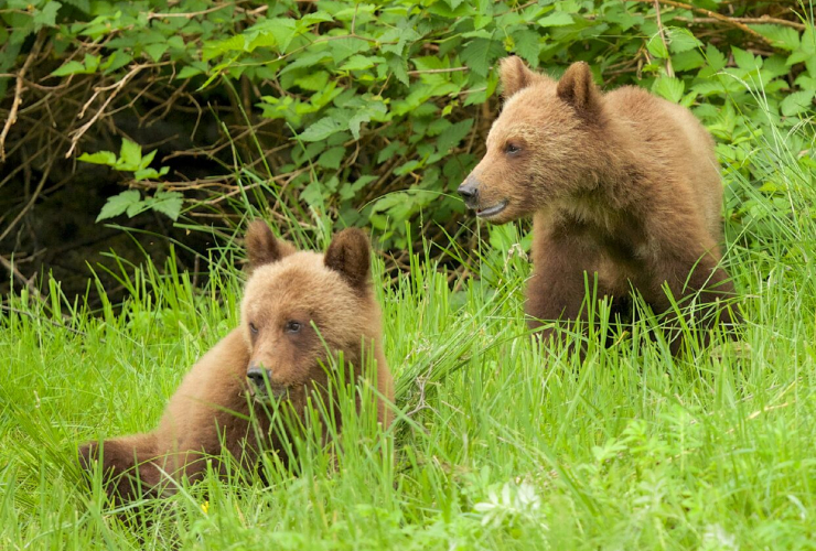 Yearling grizzlies watch their mother from the edge of the forest