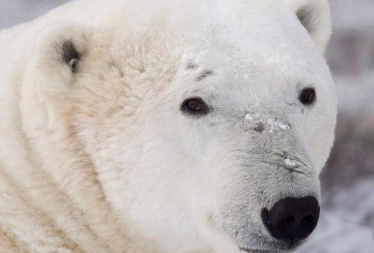 A polar bear sits along the shore of Hudson Bay near Churchill, Man. in a Wednesday, Nov. 7, 2007