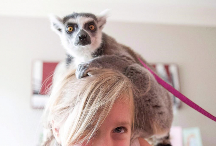 A lemur from an exotic animals company is seen at a child's birthday party in Toronto in this 2013 photo