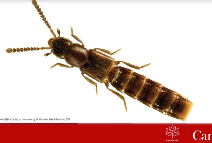 Canada 150, beetle, Natural Resources Canada, New Brunswick, entomology, A. canadensis