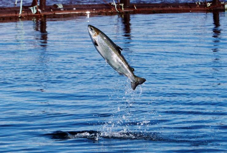 An Atlantic salmon leaps while swimming inside a farm pen near Eastport, Maine, Sunday, Oct. 12, 2008, in Eastport, Maine.