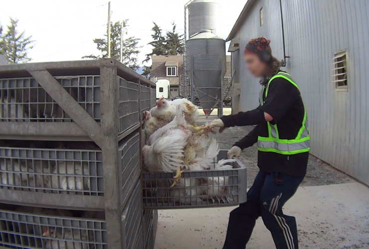 Mercy for Animals, Lilydale Chicken Supplier, farms,
