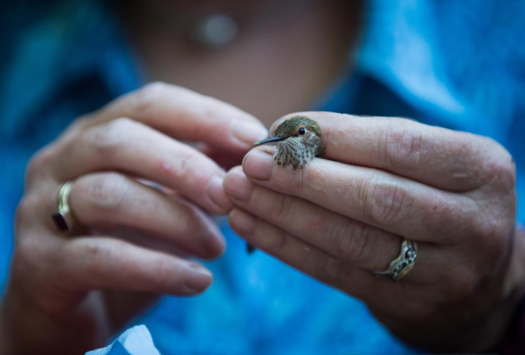 Christine Bishop, research scientist, Environment and Climate Change Canada, rufous juvenile male hummingbird