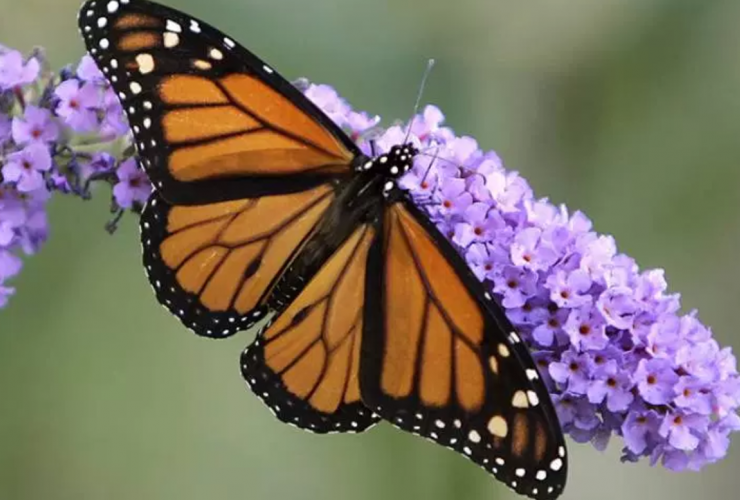 Monarch butterfly, endangered species, pollinator