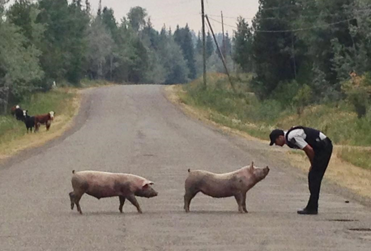RCMP police officer, pigs, B.C. RCMP