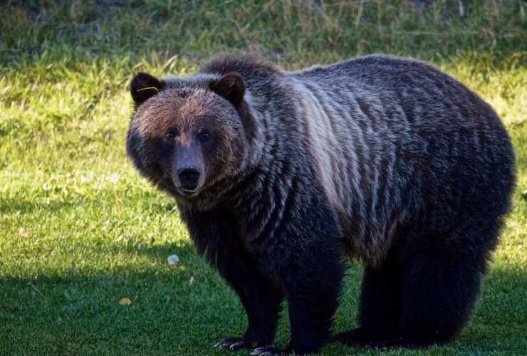 Bear 148, grizzly, Banff,