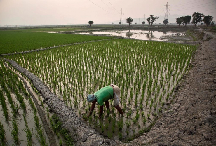 Indian farmer, paddy field, Roja Mayong, village, Gauhati, India,