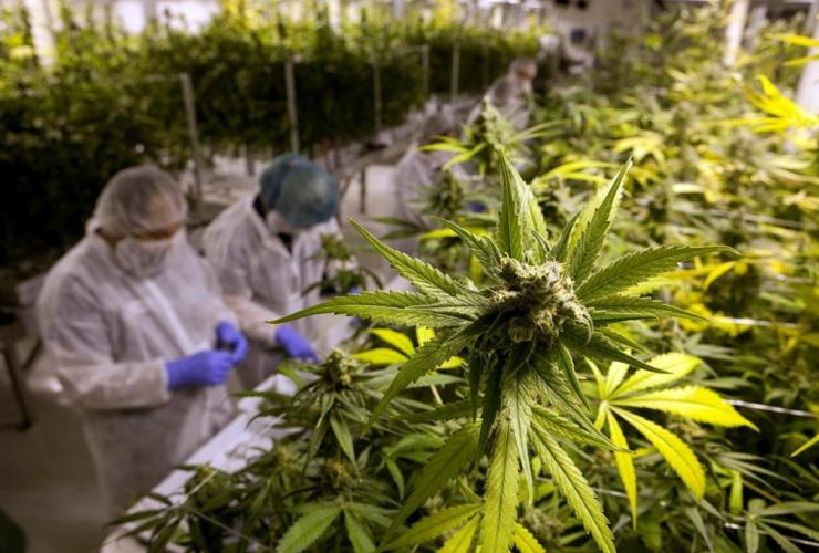 Production staff, harvest, marijuana plants, flowering room, United Greeneries, Duncan, B.C.,