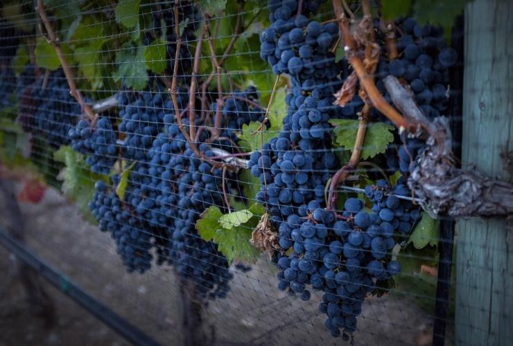 grapes, wine, British Columbia, NAFTA, Canada, United States
