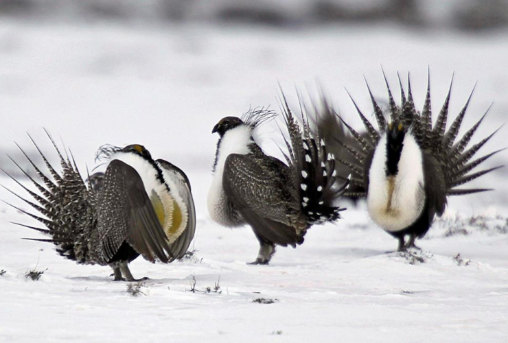 male greater sage grouse, mating rituals, female grouse, lake, Walden,