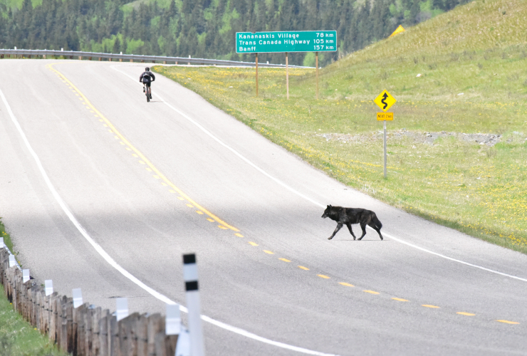 Here a lone male wolf crosses Highway 40 in Kananaskis Country in Alberta, into an area that will see logging start in early September 2017. Photo provided by Stephen Legault