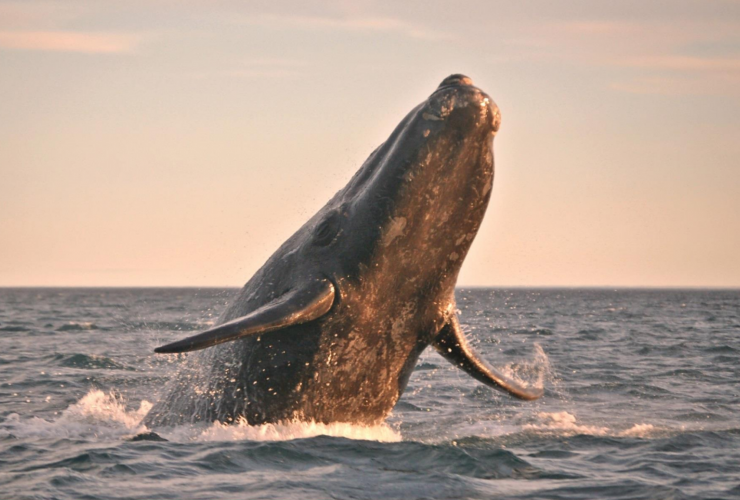 Fisheries and Oceans Canada, North Atlantic right whale, right whale