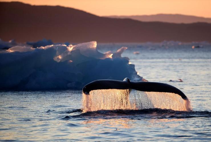 humpback whale, swimming, Nuup Kangerlua Fjord, Nuuk, Greenland