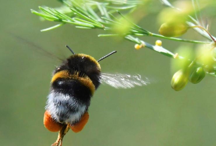 bumblebee, pollen, asparagus field, Diedersdorf, Germany