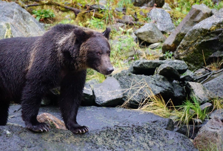 grizzly bear, Great Bear Rainforest, conservation, British Columbia, cub of the year