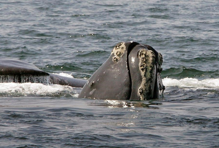 The United States government has launched an investigation into a string of deaths of endangered North Atlantic right whales.