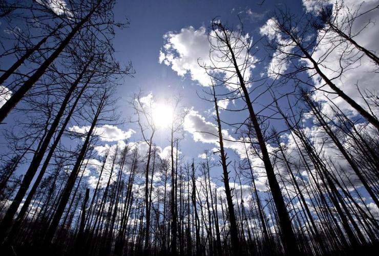 Burned trees, Saprae Creek, Fort McMurray, Alta