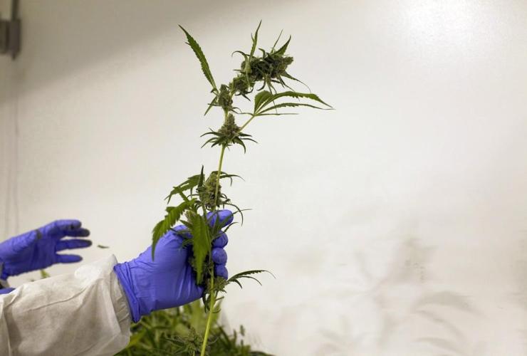 Production staff, harvest, marijuana plants, flowering room, Harvest One Cannabis Inc., Duncan, B.C.,