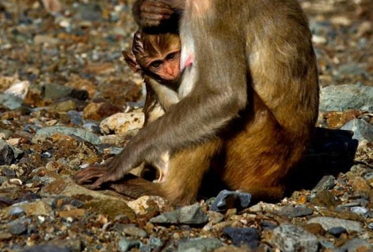 female monkey, baby, Cayo Santiago, Monkey Island, Puerto Rico