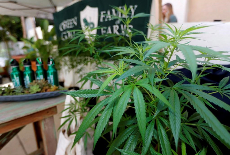 Marijuana plants, Green Goat Family Farms, The State of Cannabis, California, industry group meeting, Long Beach,