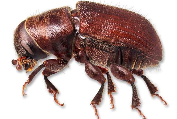 mountain pine beetle,