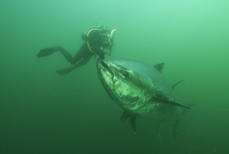 Bluefin, tuna, Prince Edward Island, oceans, conservation