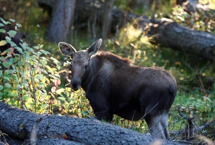 moose calves, Prince George, Northern Lights Wildlife Society, Smithers,