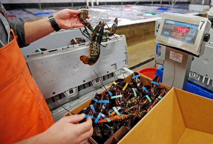lobsters, packed, weighed, overseas shipment, Maine Lobster Outlet,
