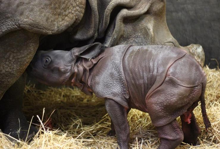 Toronto Zoo, one-horned rhinoceros calf,