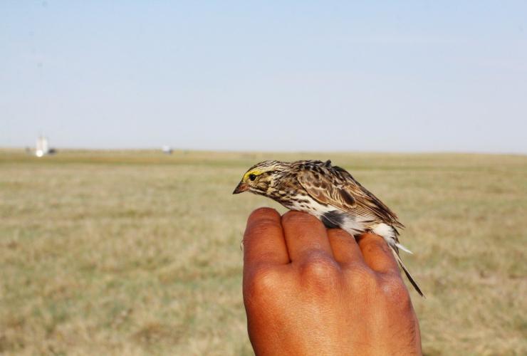 Savannah Sparrow, University of Manitoba, Clair Curry
