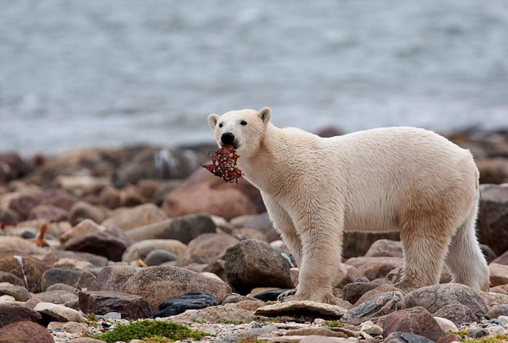 polar bear, eats, whale meat, shore, Hudson Bay, Churchill,