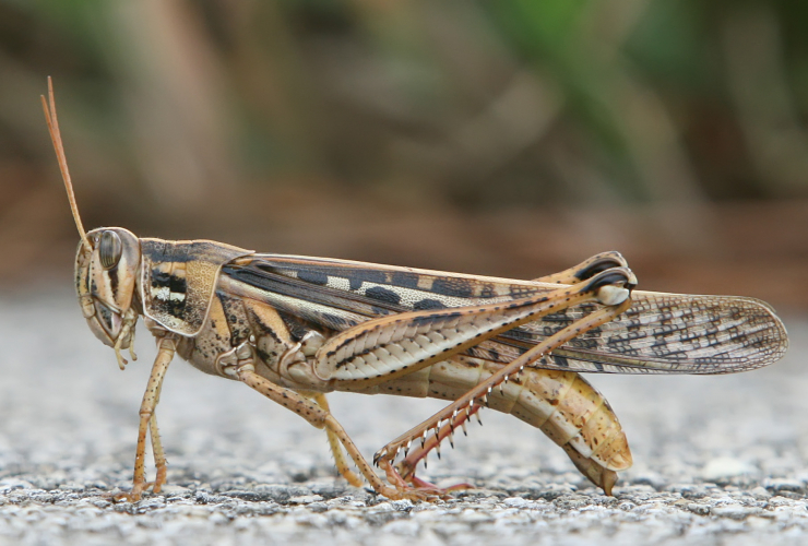 Creative Commons image of a grasshopper