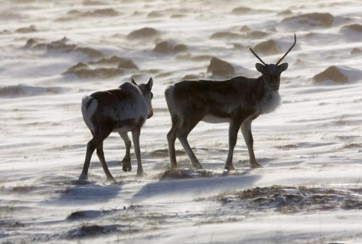 Wild caribou, tundra, Meadowbank Gold Mine, Nunavut Territory,