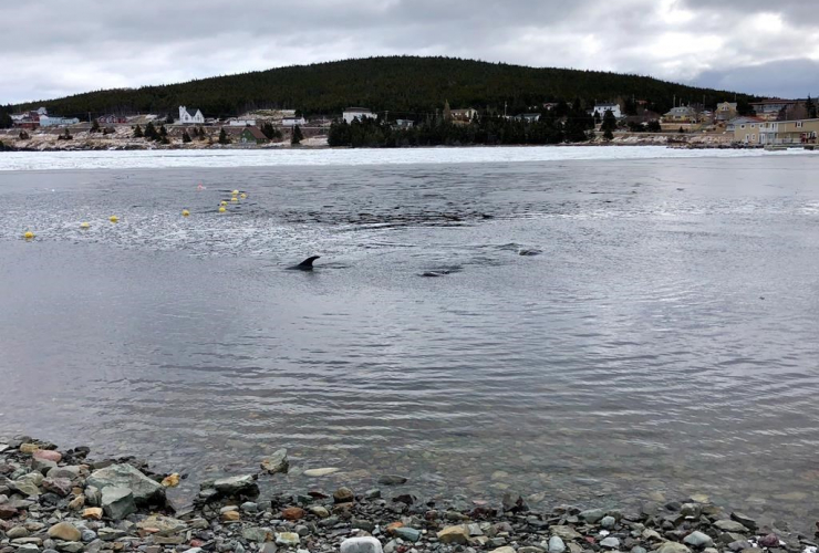 Dolphins, trapped, harbour, Heart's Delight, N.L.,
