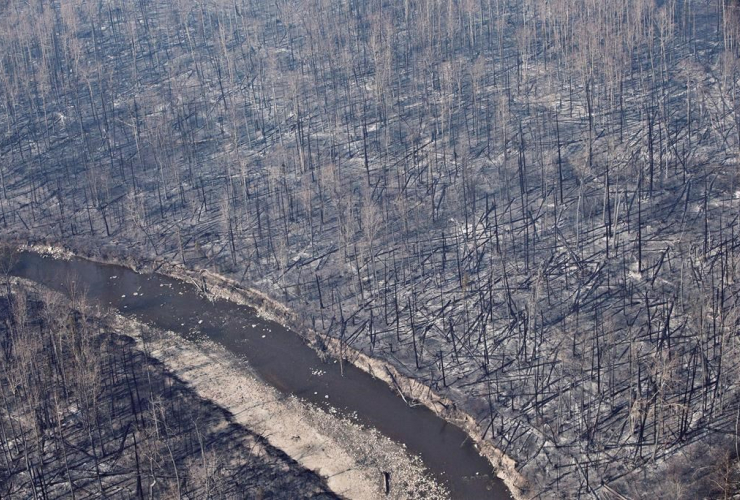 Burned trees, Fort McMurray, Alta.,