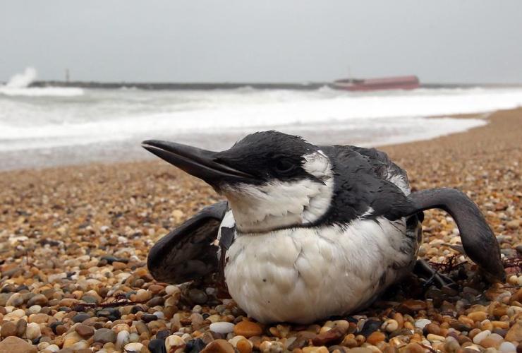 guillemot seabird, beach, Cavalier, Anglet, southwestern France,