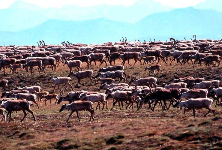 U.S. Fish and Wildlife Service, caribou, Porcupine Caribou Herd, migrate, coastal plain, Arctic National Wildlife Refuge,