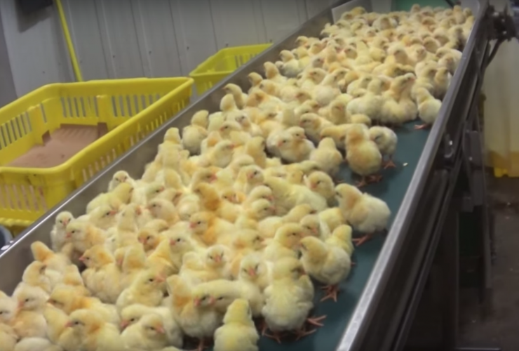 Maple Lodge Farms, hatchery, Mercy for Animals, poultry, factory farming
