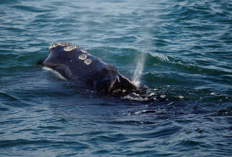 North Atlantic right whale, feeds, Cape Cod bay, Plymouth,