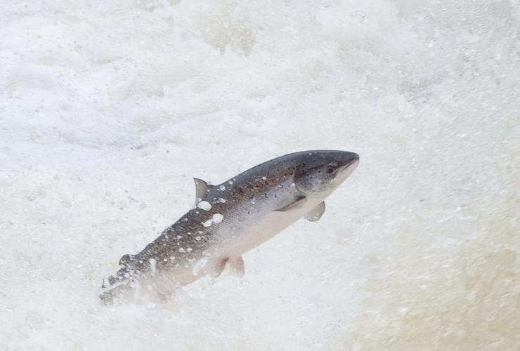 wild salmon, Big Falls, Humber River, Newfoundland,