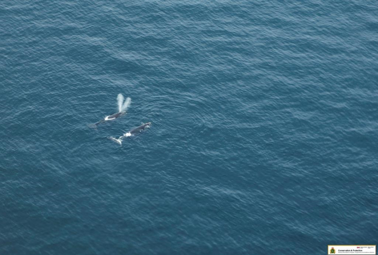 Right whales,Gulf of Saint Lawrence,