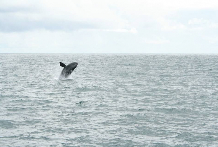 A rare sighting of a North Pacific Right Whale off the west coast of Haida Gwaii in early June 2018. Photo from Department of Fisheries and Oceans
